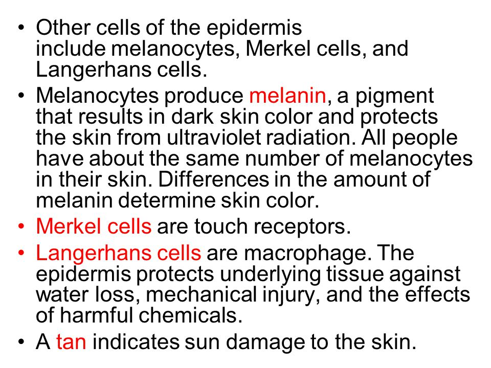 Other cells of the epidermis include melanocytes, Merkel cells, and Langerhans cells.
