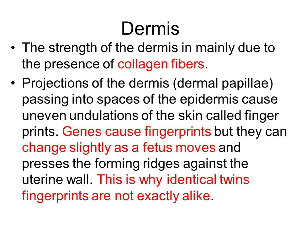 Dermis The strength of the dermis in mainly due to the presence of collagen fibers.