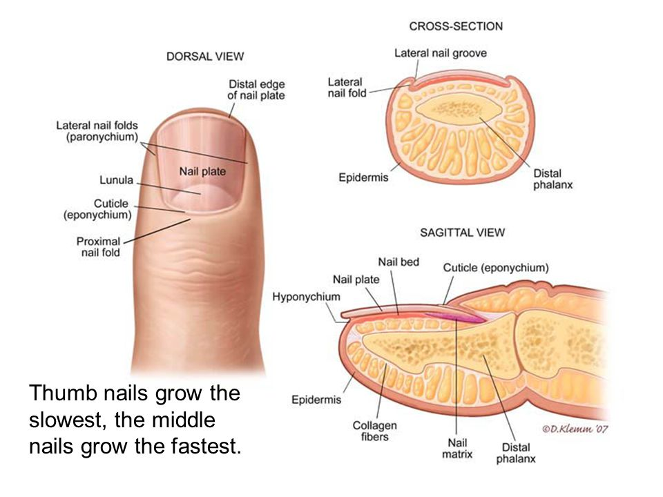 Thumb nails grow the slowest, the middle nails grow the fastest.