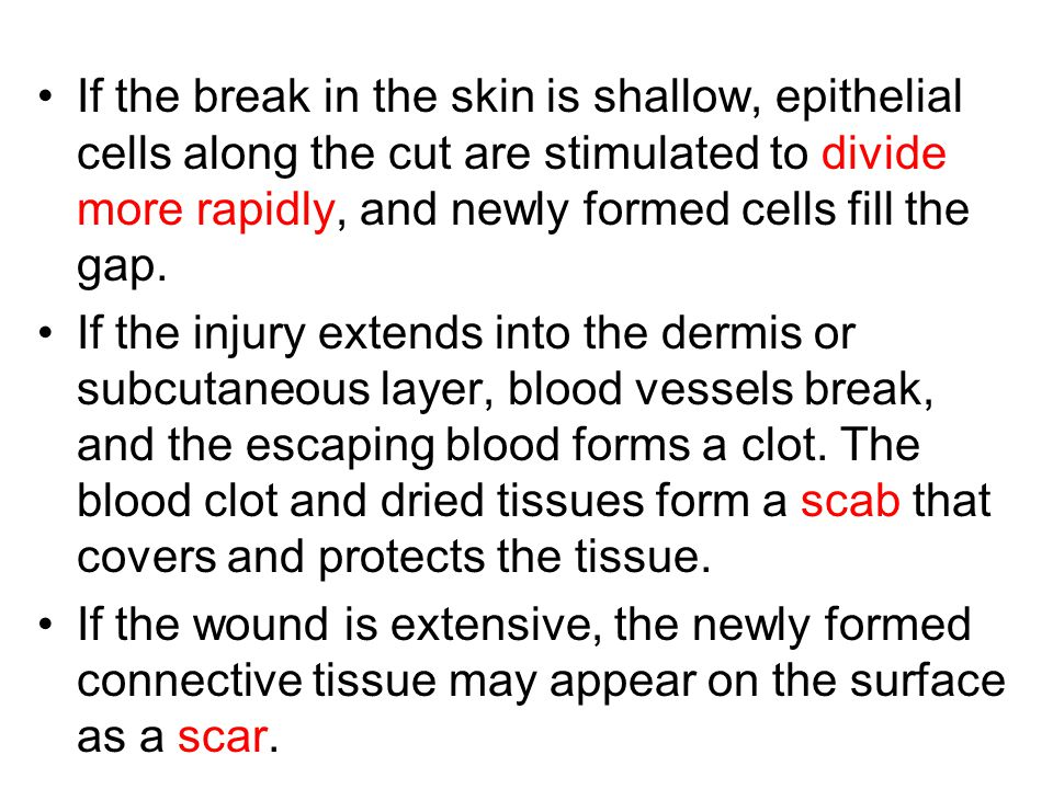 If the break in the skin is shallow, epithelial cells along the cut are stimulated to divide more rapidly, and newly formed cells fill the gap.