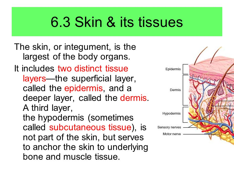 6.3 Skin & its tissues The skin, or integument, is the largest of the body organs.