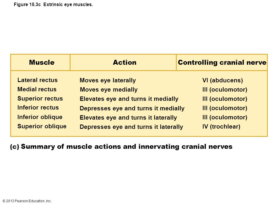 Figure 15.3c Extrinsic eye muscles.
