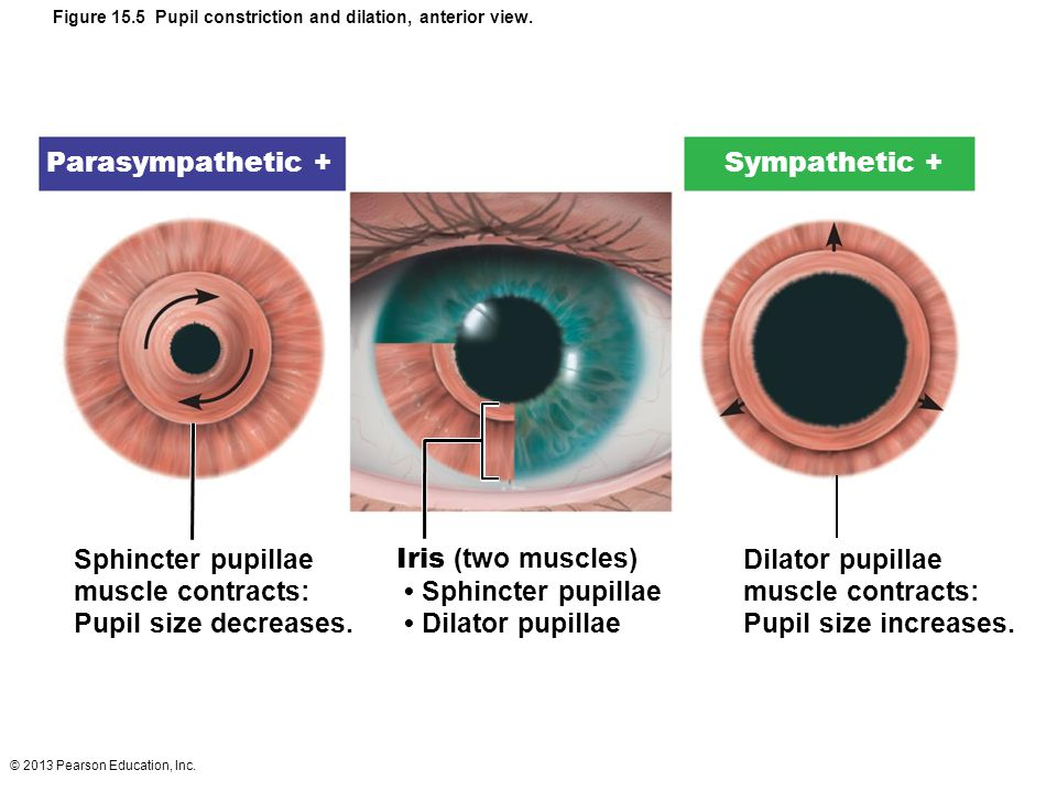 Figure 15.5 Pupil constriction and dilation, anterior view.