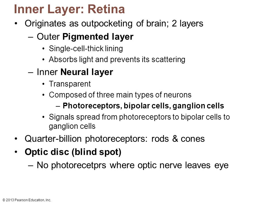 Inner Layer: Retina Originates as outpocketing of brain; 2 layers
