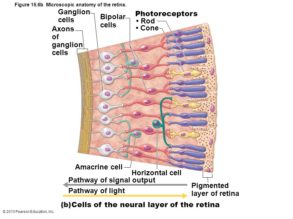 Figure 15.6b Microscopic anatomy of the retina.