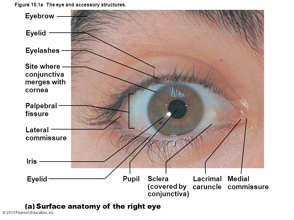 Figure 15.1a The eye and accessory structures.