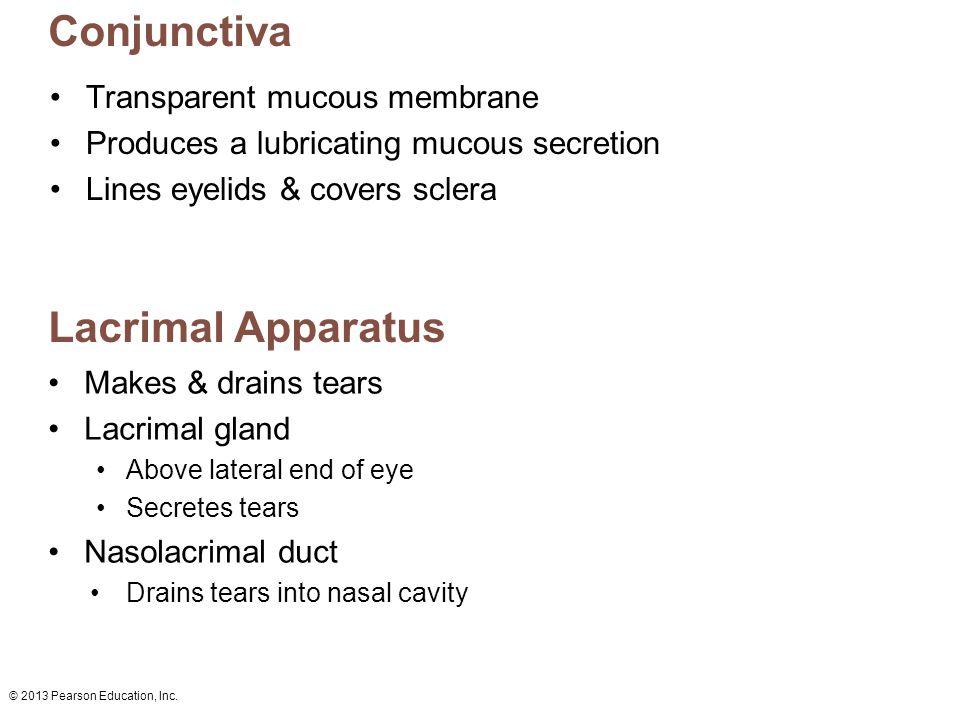 Conjunctiva Lacrimal Apparatus Transparent mucous membrane