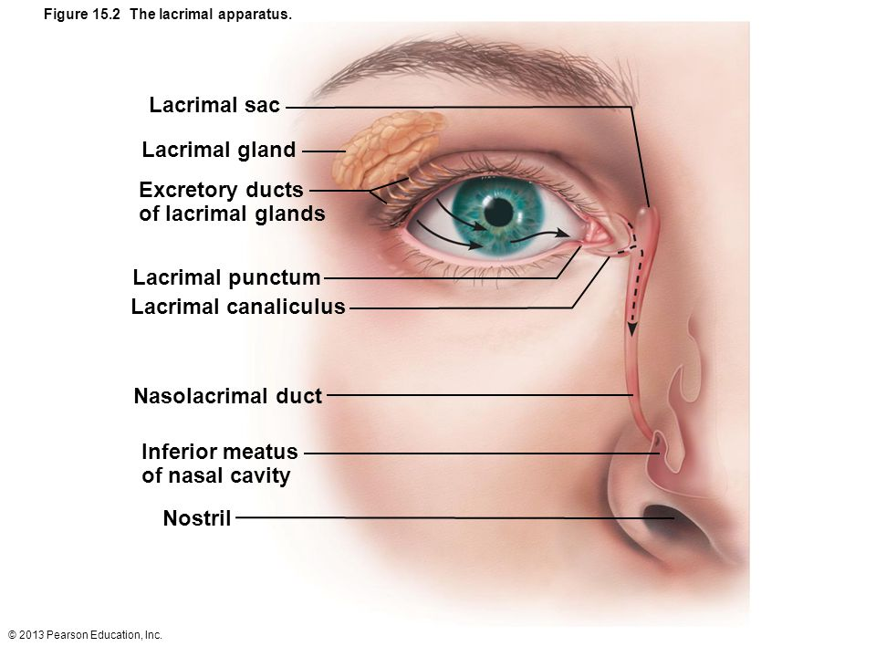 Figure 15.2 The lacrimal apparatus.
