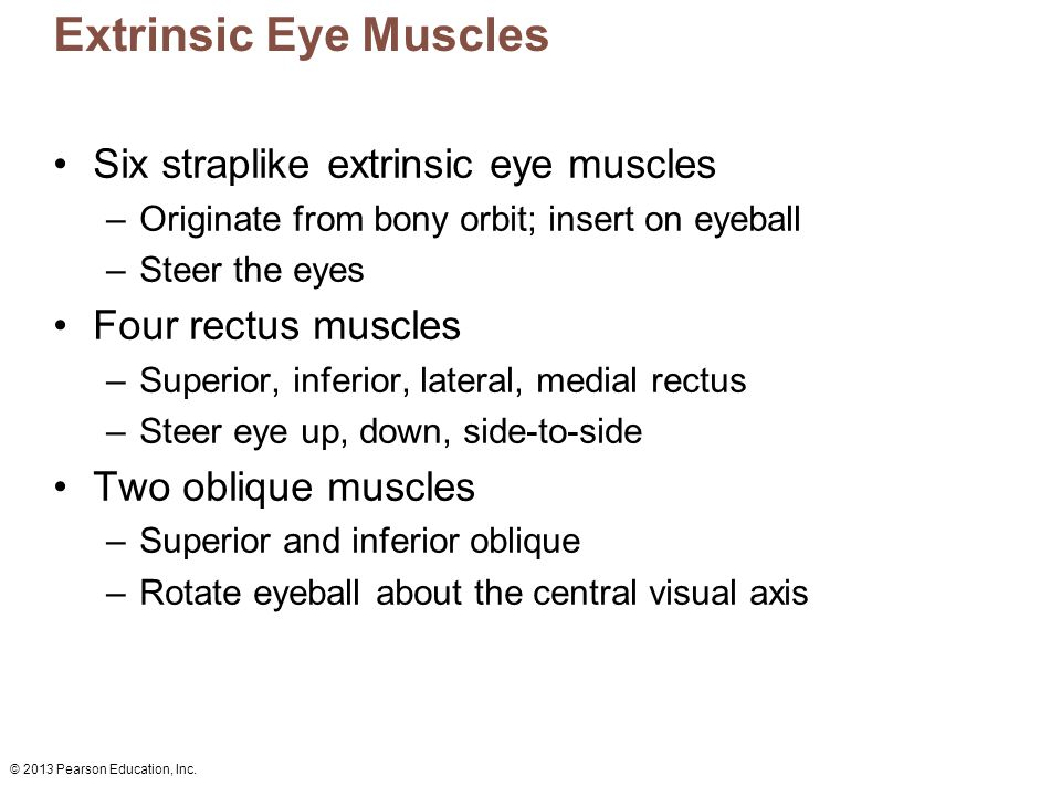 Extrinsic Eye Muscles Six straplike extrinsic eye muscles