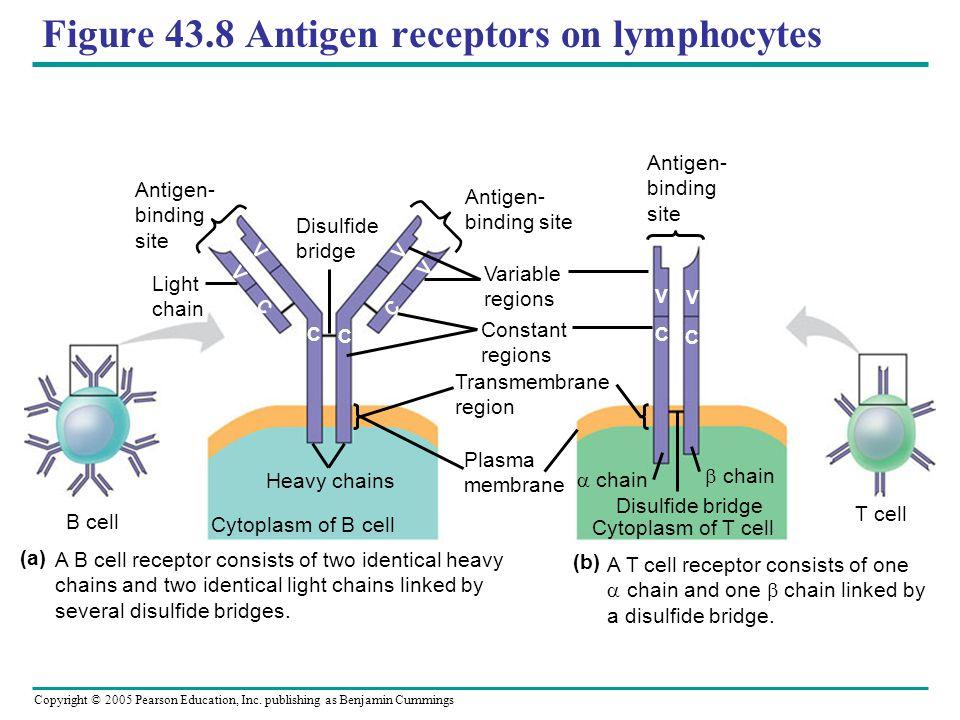 Figure 43.8 Antigen receptors on lymphocytes