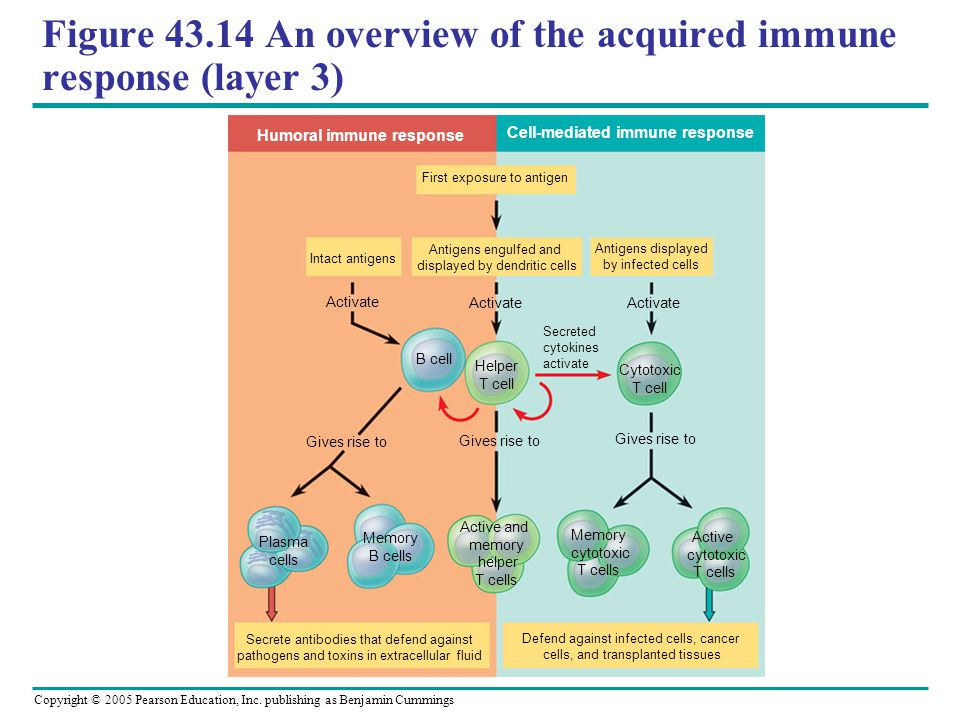 Figure 43.14 An overview of the acquired immune response (layer 3)