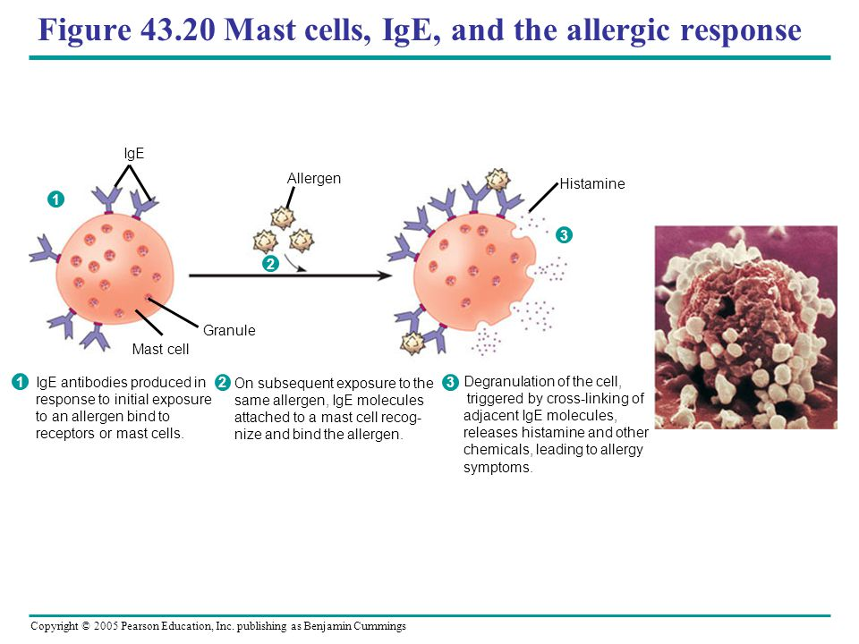 Figure 43.20 Mast cells, IgE, and the allergic response
