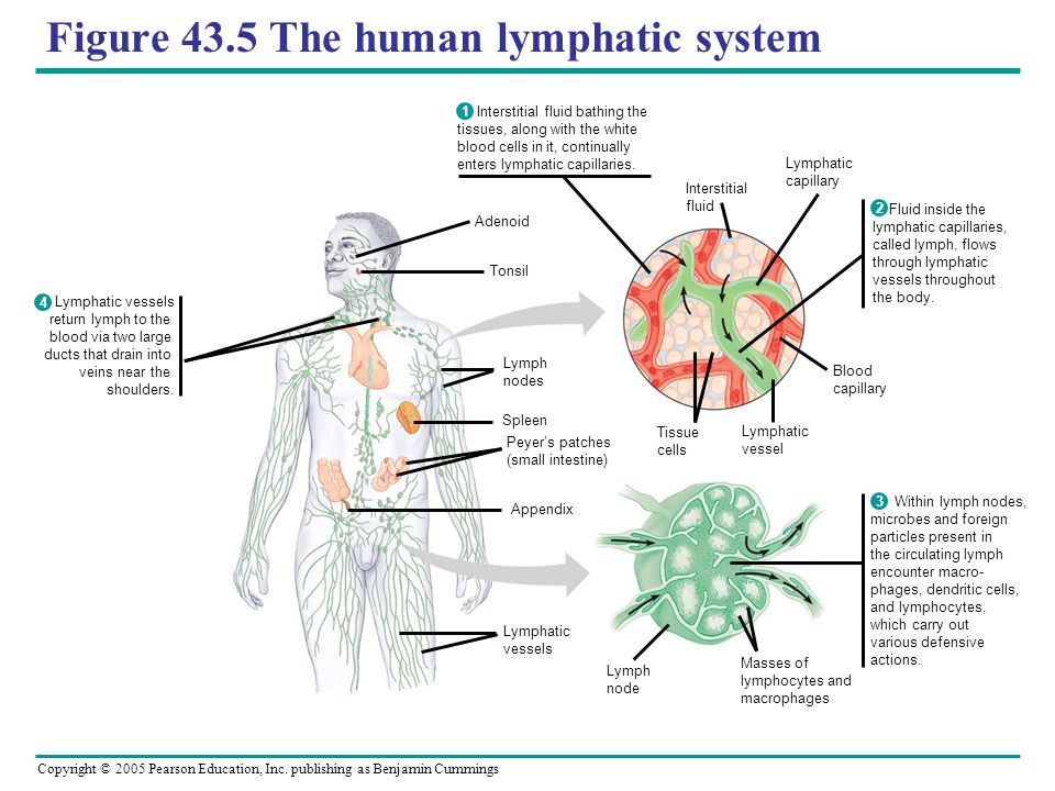 Figure 43.5 The human lymphatic system