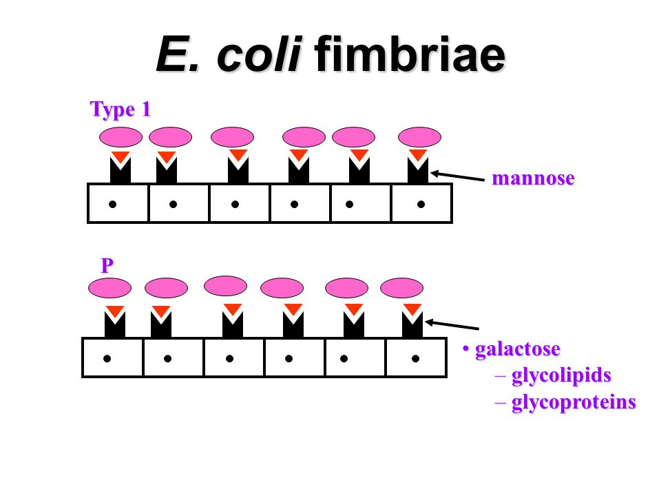 E. coli fimbriae Type 1 mannose P galactose glycolipids glycoproteins