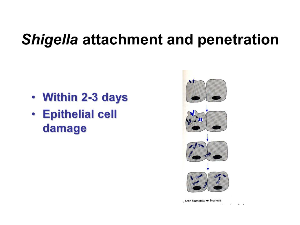 Shigella attachment and penetration