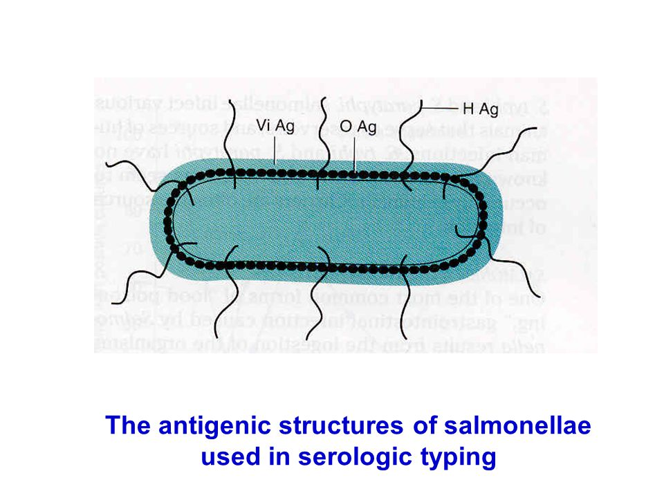 The antigenic structures of salmonellae used in serologic typing