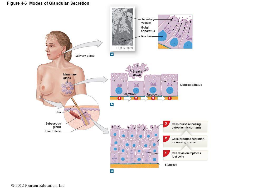 Figure 4-6 Modes of Glandular Secretion