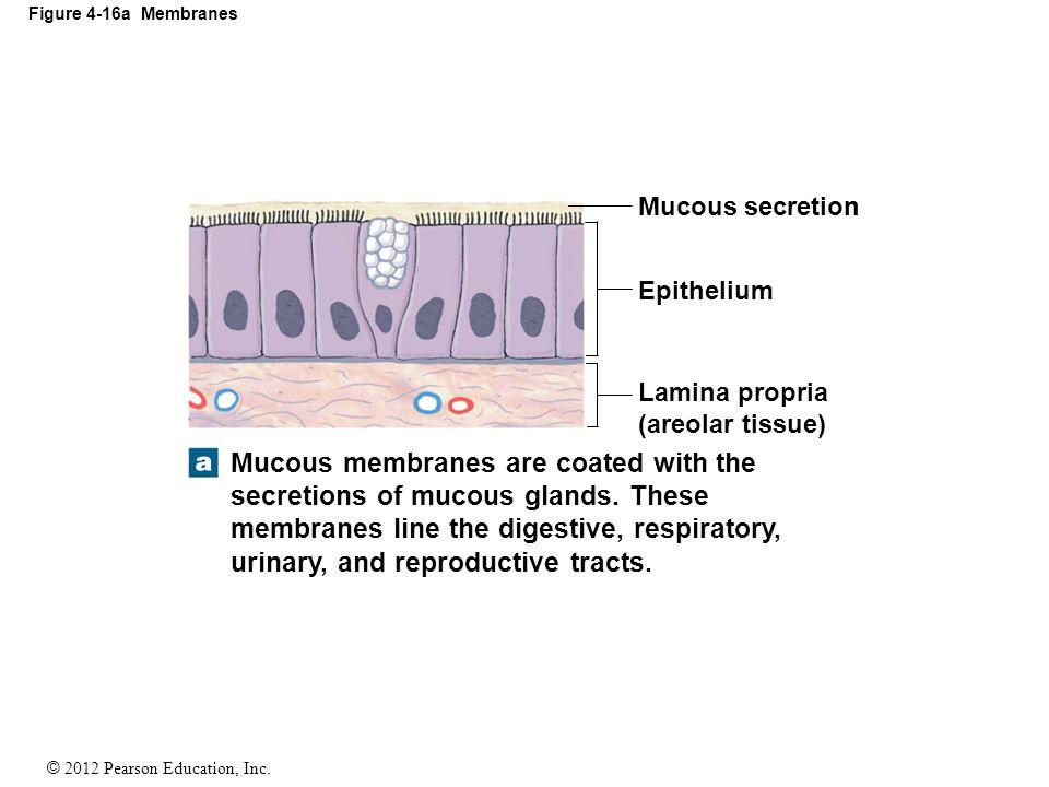 Figure 4-16a Membranes Mucous secretion. Epithelium. Lamina propria (areolar tissue)