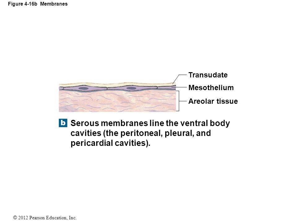 Figure 4-16b Membranes Transudate. Mesothelium. Areolar tissue.
