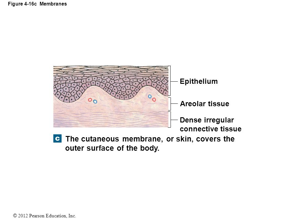 The cutaneous membrane, or skin, covers the outer surface of the body.