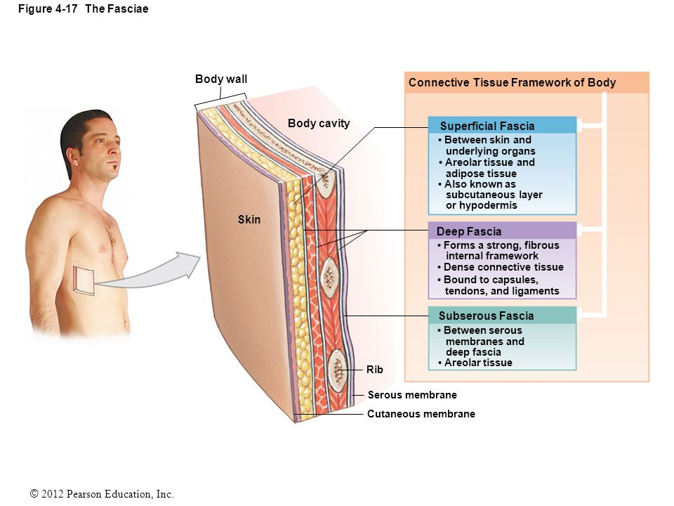 Connective Tissue Framework of Body