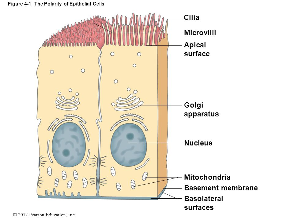 Figure 4-1 The Polarity of Epithelial Cells