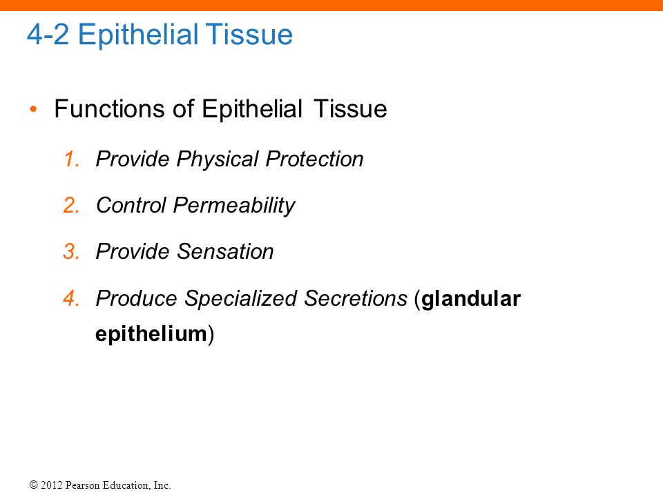 4-2 Epithelial Tissue Functions of Epithelial Tissue