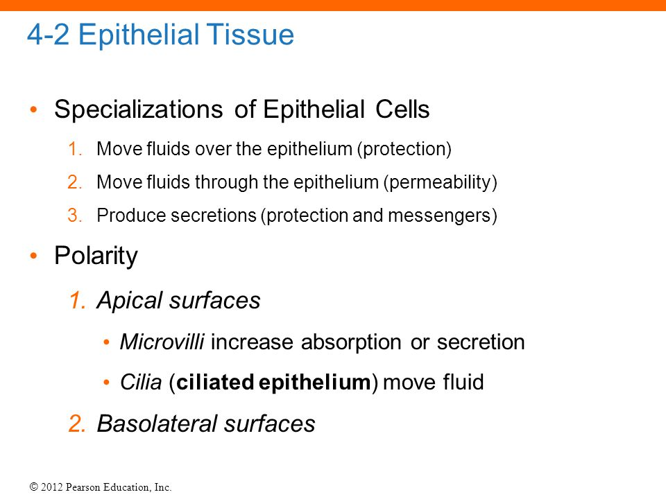 4-2 Epithelial Tissue Specializations of Epithelial Cells Polarity