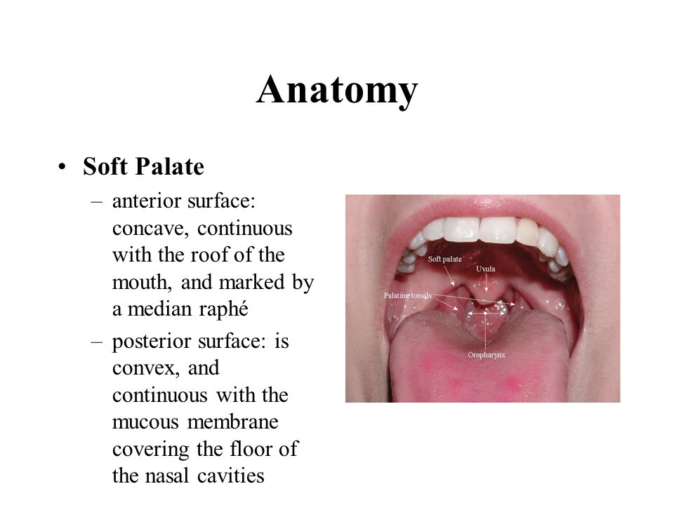 Anatomy Soft Palate. anterior surface: concave, continuous with the roof of the mouth, and marked by a median raphé.