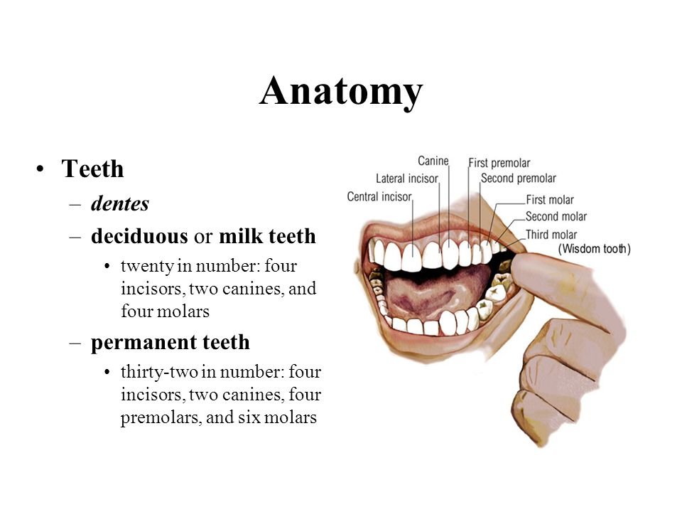 Anatomy Teeth dentes deciduous or milk teeth permanent teeth
