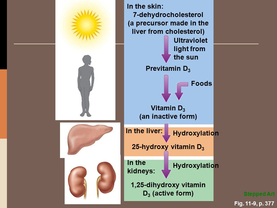 (a precursor made in the liver from cholesterol)
