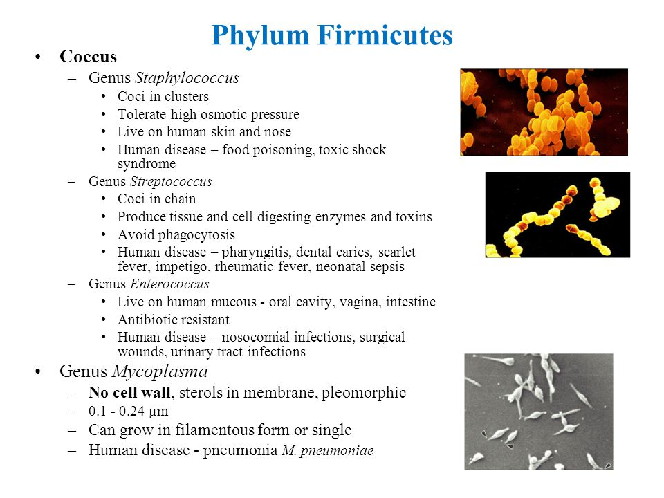 Phylum Firmicutes Coccus Genus Mycoplasma Genus Staphylococcus