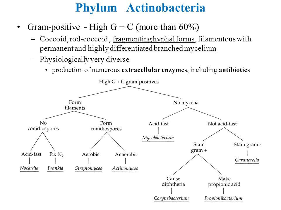 Phylum Actinobacteria