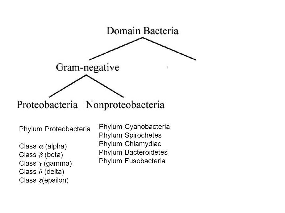 Phylum Cyanobacteria Phylum Spirochetes. Phylum Chlamydiae. Phylum Bacteroidetes. Phylum Fusobacteria.