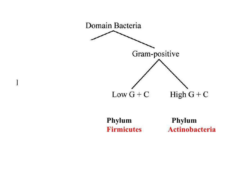Phylum Phylum Firmicutes Actinobacteria