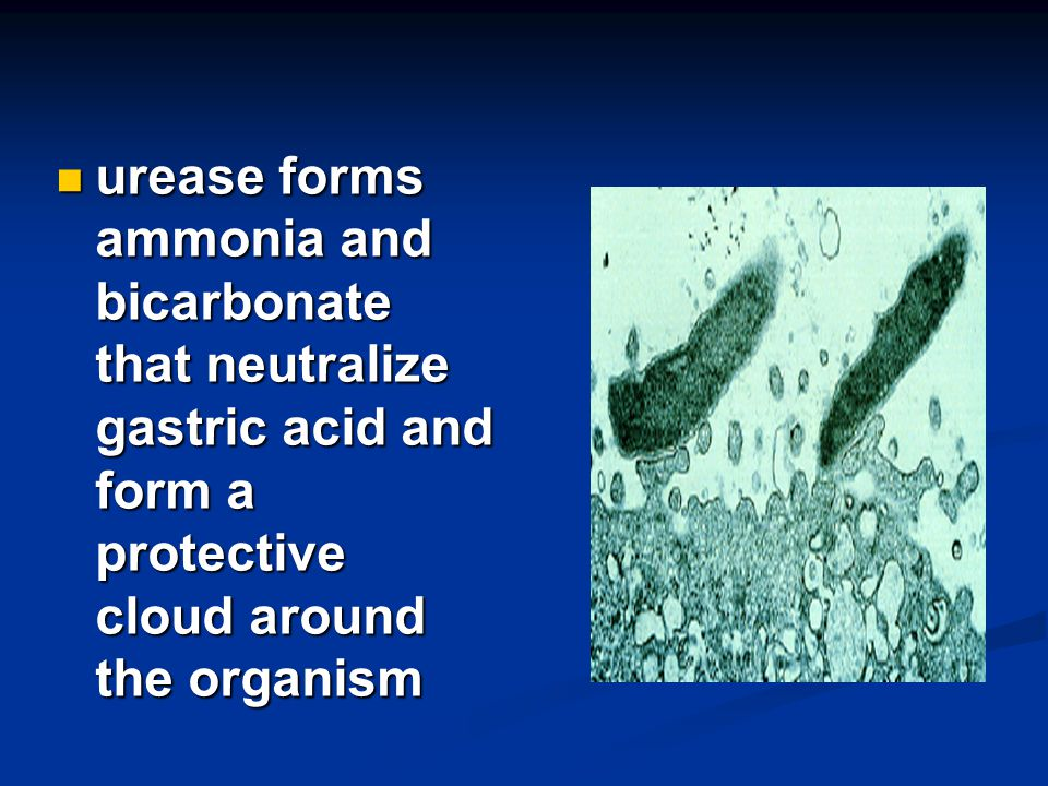 urease forms ammonia and bicarbonate that neutralize gastric acid and form a protective cloud around the organism
