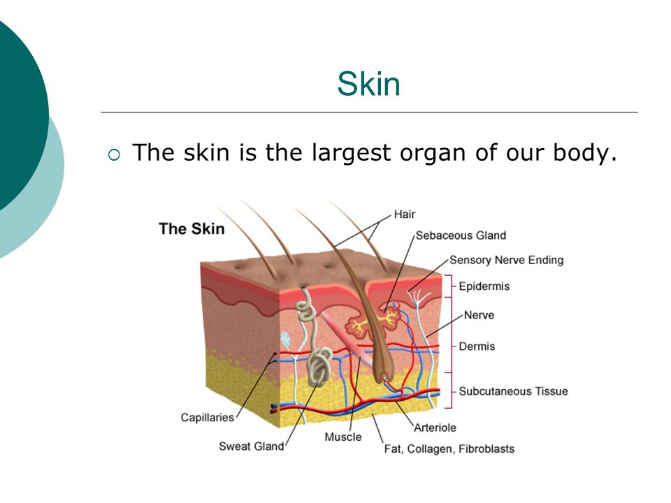 Skin The skin is the largest organ of our body.