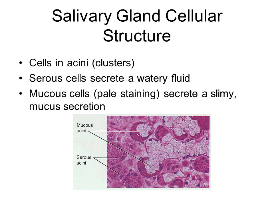 Salivary Gland Cellular Structure