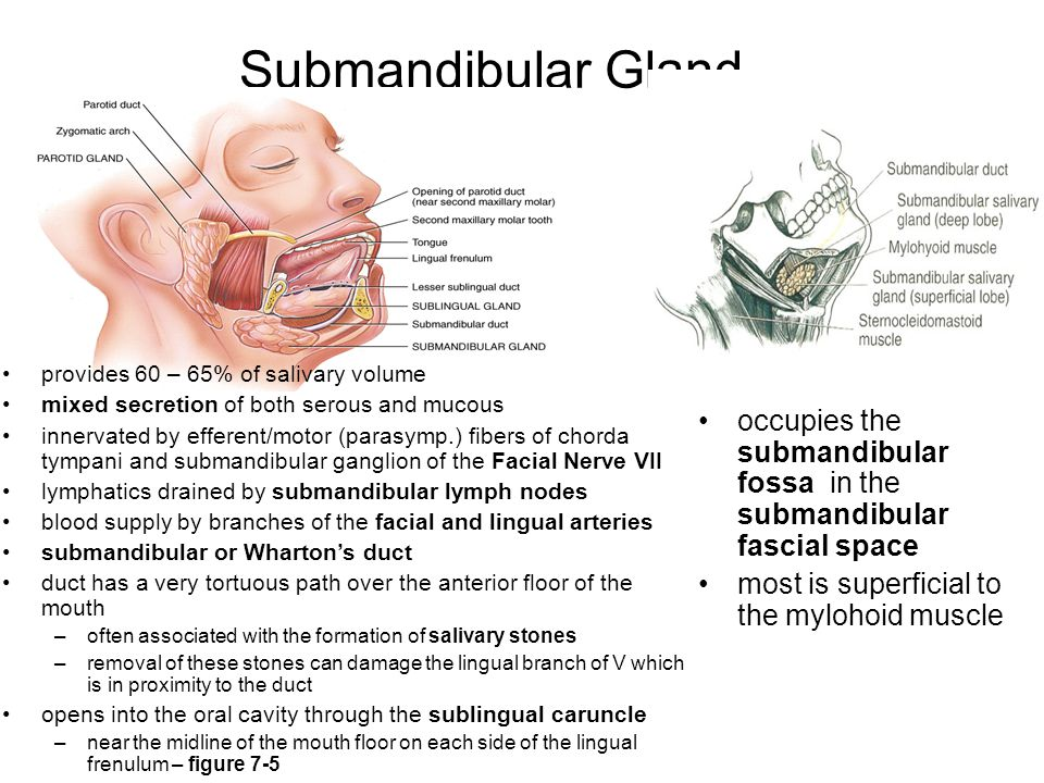 Submandibular Gland provides 60 – 65% of salivary volume. mixed secretion of both serous and mucous.