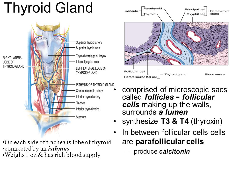 Thyroid Gland comprised of microscopic sacs called follicles = follicular cells making up the walls, surrounds a lumen.
