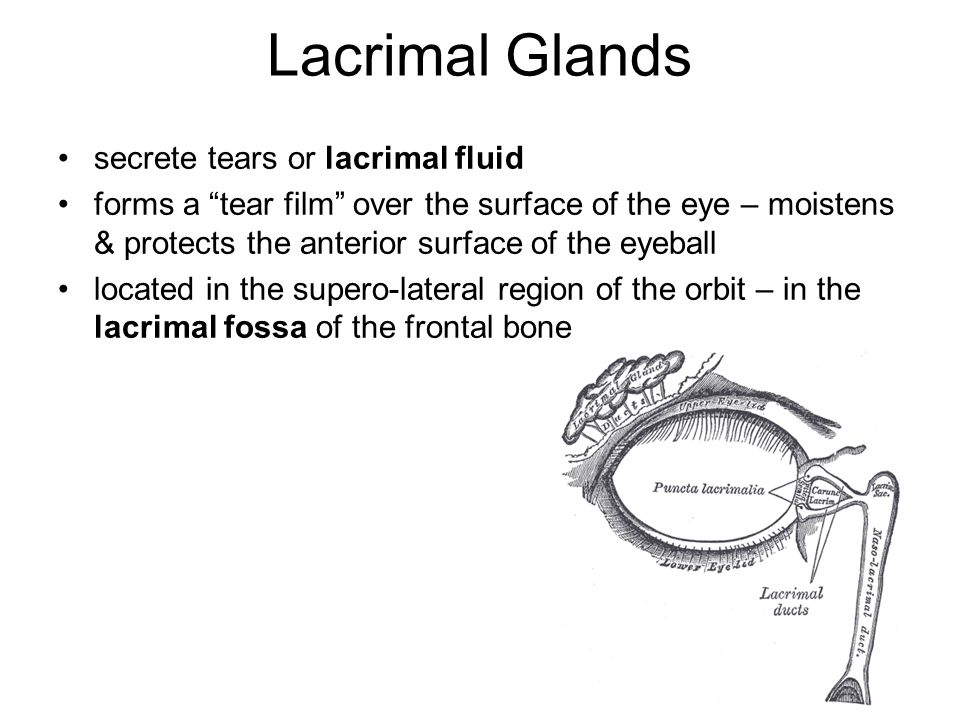 Lacrimal Glands secrete tears or lacrimal fluid