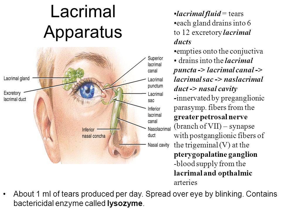 Lacrimal Apparatus lacrimal fluid = tears each gland drains into 6