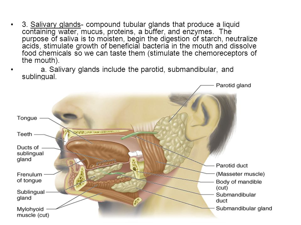 3. Salivary glands- compound tubular glands that produce a liquid containing water, mucus, proteins, a buffer, and enzymes. The purpose of saliva is to moisten, begin the digestion of starch, neutralize acids, stimulate growth of beneficial bacteria in the mouth and dissolve food chemicals so we can taste them (stimulate the chemoreceptors of the mouth).