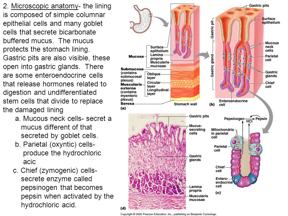 2. Microscopic anatomy- the lining is composed of simple columnar epithelial cells and many goblet cells that secrete bicarbonate buffered mucus. The mucus protects the stomach lining. Gastric pits are also visible, these open into gastric glands. There are some enteroendocrine cells that release hormones related to digestion and undifferentiated stem cells that divide to replace the damaged lining