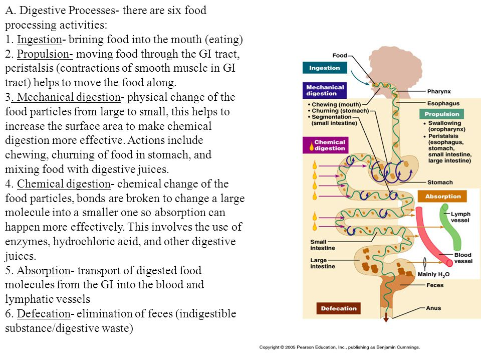 A. Digestive Processes- there are six food processing activities: