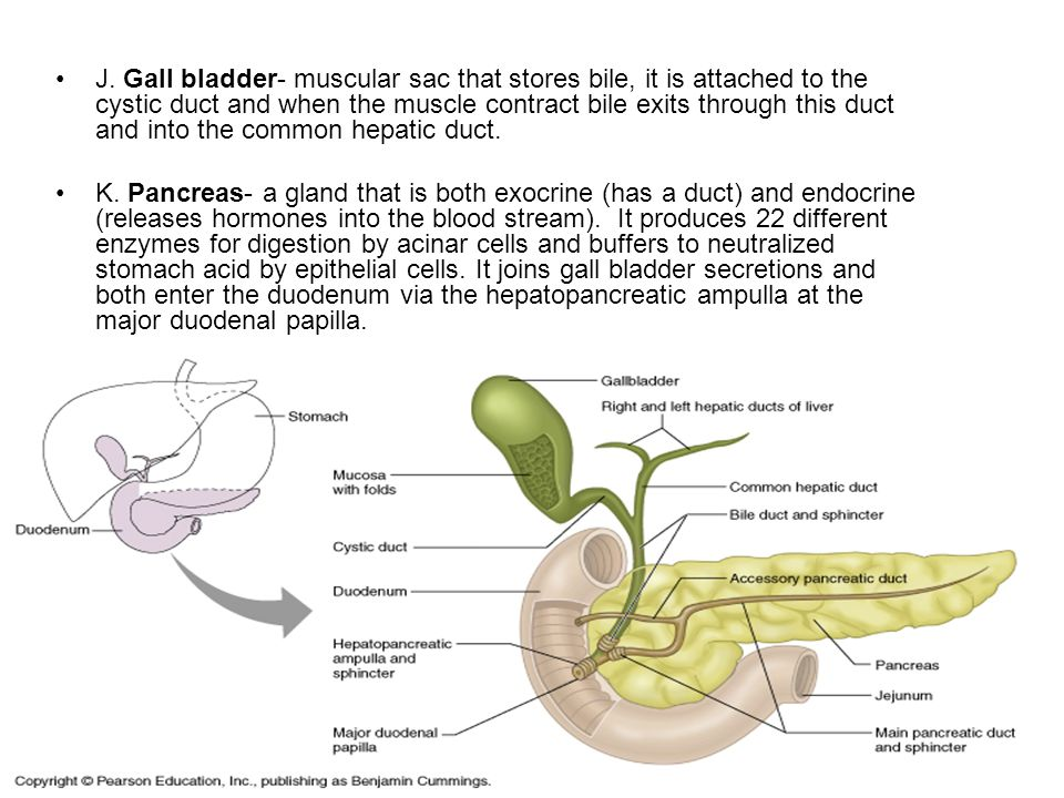 J. Gall bladder- muscular sac that stores bile, it is attached to the cystic duct and when the muscle contract bile exits through this duct and into the common hepatic duct.