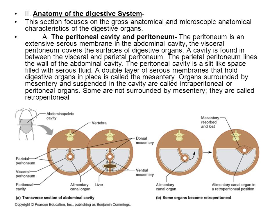 II. Anatomy of the digestive System-