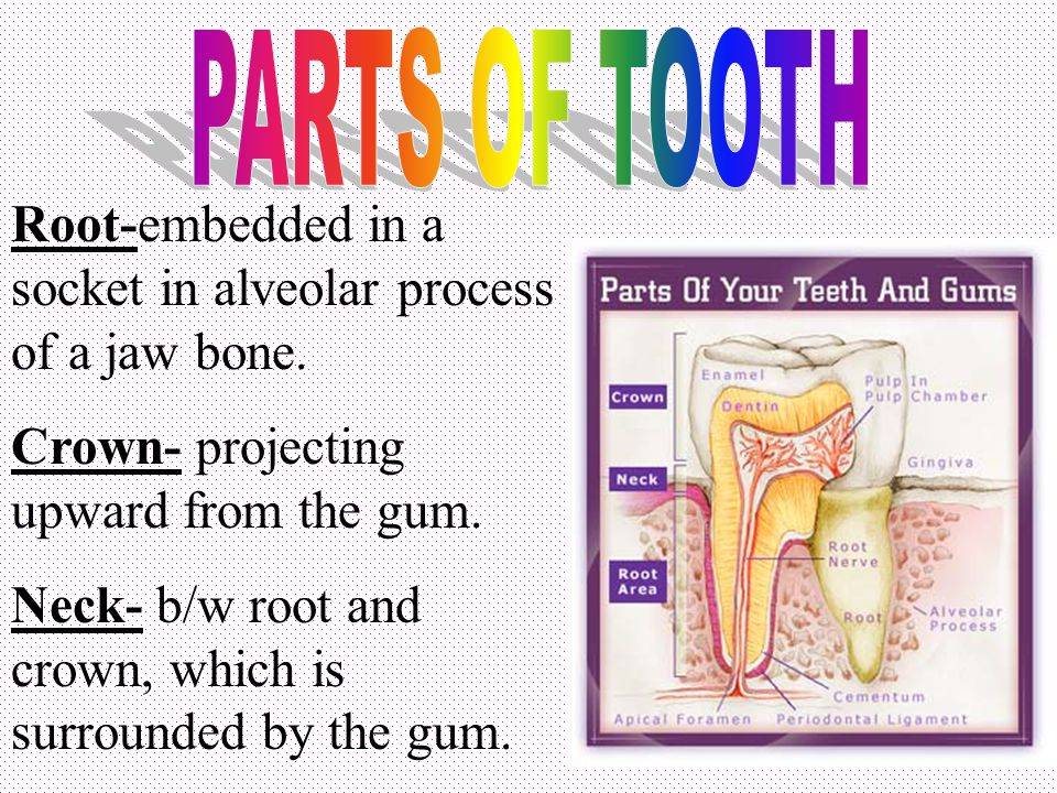 PARTS OF TOOTH Root-embedded in a socket in alveolar process of a jaw bone. Crown- projecting upward from the gum.