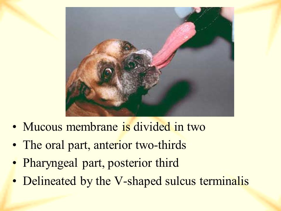 Mucous membrane is divided in two