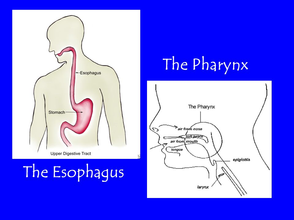 The Pharynx The Esophagus